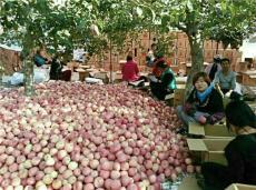 山东红富士批发基地 山东苹果大量批发