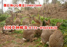思麻兔野兔獭兔肉兔养殖适合的牧草种植