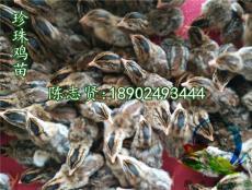 贵州珍珠鸡苗-铜仁-六盘水珍珠鸡种苗提供商