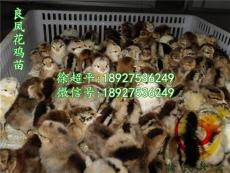 青海良凤花鸡苗-青海大红公鸡苗多少钱一只