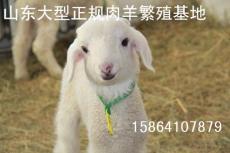 30斤左右波尔山羊小尾寒羊育肥肉羊羔种羊羔