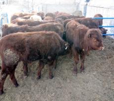 山西省圖強肉牛養殖場常年出售各品種肉牛
